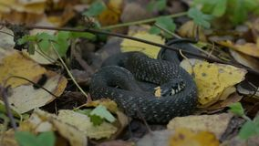Black reptile lying on fall leaves. Autumn forest background. Wilderness scene. stock video
