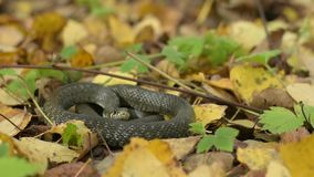 Black reptile lying on fall leaves. Autumn forest background. Wilderness scene stock footage