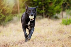 Black rescue dog playing fetch. Cute black dog playing fetch in rural green field looking at camera royalty free stock photography