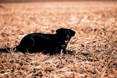 Black Retriever Stock Photo