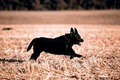 Black Retriever Stock Photos