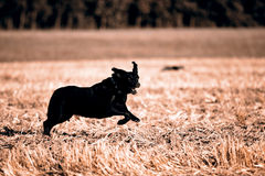 Black Retriever Royalty Free Stock Photography
