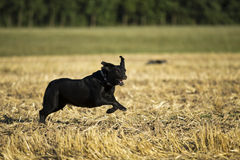 Black Retriever Stock Image