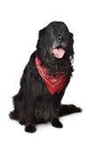Black retriever dog Royalty Free Stock Photo