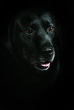 Black Retriever Labrador Royalty Free Stock Photo