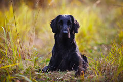 Black retriever lying in the grass Stock Image