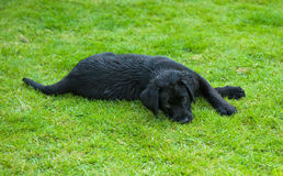 Black retriever puppy Royalty Free Stock Image