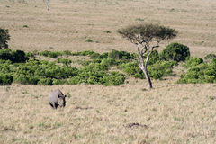 Black Rhino. On the move after spotting us royalty free stock photo