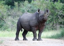 Free Black Rhino Royalty Free Stock Photos - 13809428