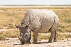 Black Rhino. Wild Black Rhino, Etosha, Namibia stock images