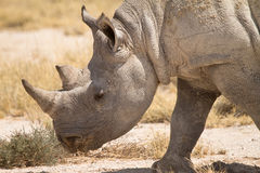 Black Rhino. Portrait, safari Etosha, Namibia royalty free stock image