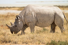 Black Rhino. Safari Etosha, Namibia Africa royalty free stock images