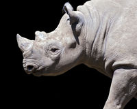 Black rhino Royalty Free Stock Photo