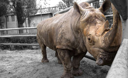 Black rhino. Is standing at the fence Stock Images