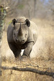 Black Rhino. A Black Rhino running towards the camera, Kruger National Park Stock Image