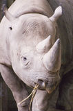 Black Rhino. An African Black Rhino Diceros bicornis longipes in the Zoo Stock Images