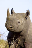 Black Rhino. A portrait of a Black Rhino Stock Photos