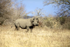 Black Rhino. A full length view of a Black Rhino, Kruger National Park Stock Photo