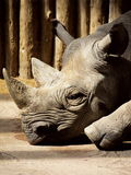 Black Rhino. Closeup of a black rhino resting Stock Images