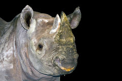 Black rhino. Or hook-lipped rhinoceros (Diceros bicornis) isolated stock images