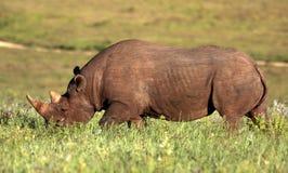 Black rhino. A black rhino walks past stock images