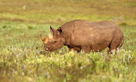 Black Rhino Stock Image