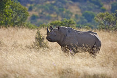 Black Rhino. A Black Rhinoceros walking through the Mountain Zebra National Park Stock Images