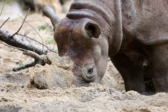 Black rhino Royalty Free Stock Photography