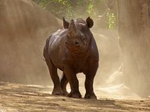 Black Rhino. The Black Rhino is an angry  Endangered Species which, despite millions of years, could not evolve a solution to dung flies Royalty Free Stock Photography