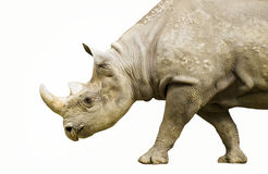 Black Rhino Stock Image