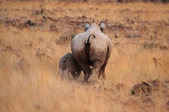 Black Rhino. A Hook-lipped Rhinoceros (Diceros bicornis) also known as Black Rhino with her child. A rare encounter from the desert of Damaraland in northern royalty free stock photos