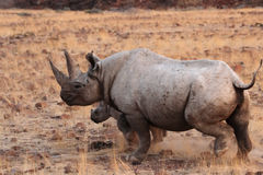 Black Rhino. A Hook-lipped Rhinoceros (Diceros bicornis), also known as Black Rhino, with her child. A rare encounter from the desert of Damaraland in northern stock photography