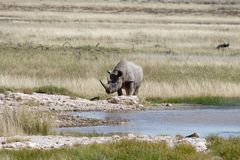 A black rhino arrives at a waterhole on a hot day in Etosha, Namibia stock photos