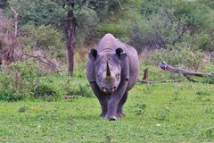 Black Rhino Bull - Rare and Endangered Species - The Walk for Life Stock Image