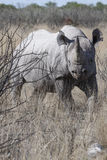 Black rhino in the bush. Portrait of an endangered black rhino in the bush land of Namibia, Africa Stock Photography