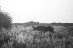 Black Rhino BW. Single Black Rhino (Diceros bicornis) in grasslands, Namibia stock image