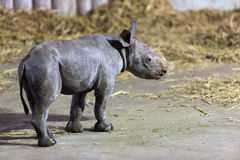 Black Rhino Calf Royalty Free Stock Photo