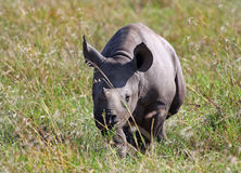 Black Rhino calf walking through the grass on the masai mara. A Black Rhinocerous Diceros bicornis calf walking through the dry yellow grass on the Masai Mara royalty free stock image