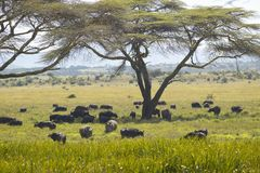 Black rhino, Cape Buffalo and wild animals grazing under Acacia tree in Lewa Conservancy, Kenya Africa Stock Photography