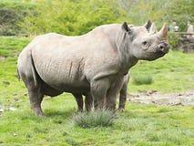 Black Rhino in Chester. ZOO...United Kingdom royalty free stock photos