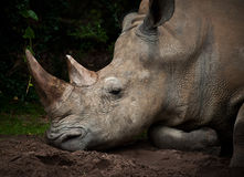 Black Rhino. A close-up of a rhinoceros Royalty Free Stock Image