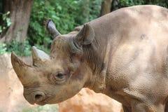 Black Rhino Stock Photography