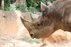 Black Rhino Stock Images