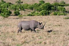 Black Rhino closer. Black rhino getting closer to our vehicle stock images