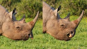 Black Rhino Composite showing Prehensile Lip. Wild Black Rhino Composite showing Prehensile Lip in Action Royalty Free Stock Photos
