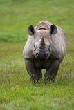 Black Rhino (Diceros bicornis) Royalty Free Stock Photography