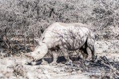 Black Rhino Diceros bicornis in Etosha National Park Royalty Free Stock Photos