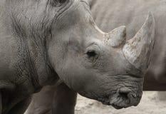 Black rhino (Diceros bicornis) head closeup Royalty Free Stock Image