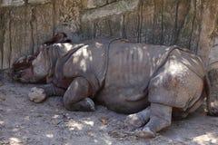 Black Rhino. Diceros bicornis, sleeping on the ground against a boulder Royalty Free Stock Photos