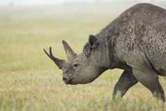 Black Rhino (Diceros bicornis) in Tanzania Royalty Free Stock Images
